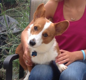 Gideon- Sweet corgi boy available for adoption.  For more info go to www.PetsSecondChance.org