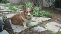 "Meet ""Scrappy"", our newest foster dog. Scrappy is a 5 year old beautiful Corgi. He is a very sweet boy."